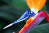 Flower Bird Of Paradise — Stock Photo