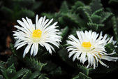 Flower Lithops faucaria candida — Stock Photo