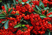 Holly and red berries — Stock Photo