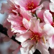 Pink Cherry Flowers Blooming — Stock Photo