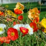 California Poppy Flower — Stock Photo #1315493