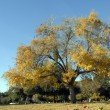 Stock Photo: Yellow Ginkgo tree leaves Fall Season