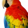 Stock Photo: Red blue macaw bird isolated
