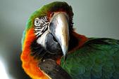Red macaw bird head isolated — Stock Photo