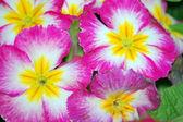 Pink Garden Phlox Flowers — Stock Photo