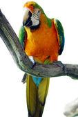 Green yellow macaw bird isolated — Stock Photo