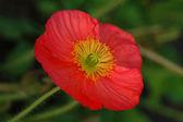 Poppy Flower in Pink — Stock Photo