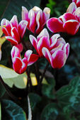 Cyclamen Flowers in Red and White colors — Stock Photo