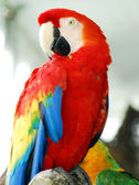 Scarlet red macaw bird isolated — Stock Photo