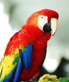 Golden Red Macaw Bird isolated — Stock Photo