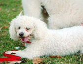 Poodle Pet Dogs — Stock Photo
