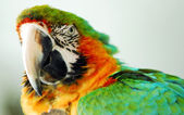 Green yellow macaw bird isolated — Stock Photo