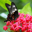 Stock Photo: Black Red White Butterfly insect