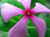 Pink Periwinkle Flower — Stock Photo
