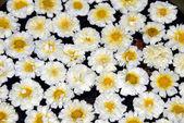 Spa White Calendula Flowers — Stock Photo