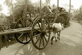 Bullock cart ride — Stock Photo