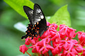 Black Red White Butterfly insect — Foto Stock