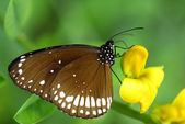 Brown White Butterfly insect — Foto Stock