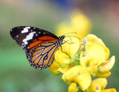 Orange Tiger Butterfly insect — Stock Photo