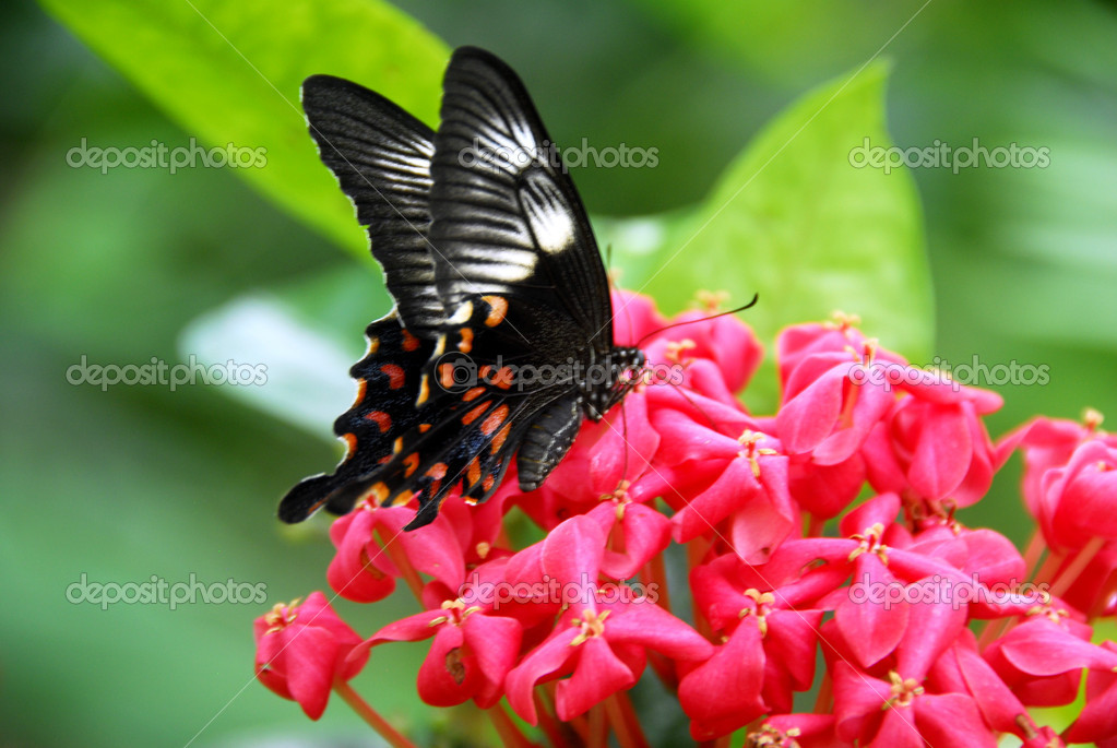 An isolated shot of Black Red White Butterfly insect feeding on flower  Stock Photo #1329829