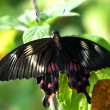 Black brown Butterfly insect couple — Stock Photo