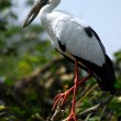 Black white open bill stork bird - Stock Photo