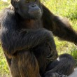 Black gorilla animal — Foto de Stock