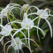 Stock Photo: White crinum spiderlily Flower