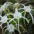 White crinum spiderlily Flower - Stock Photo