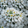 White iberis sempervirens flower - Stock Photo