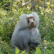 Baboon monkey animal — Foto de Stock