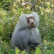 Baboon monkey animal — Stock fotografie