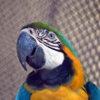 Blue yellow macaw bird isolated — Stock Photo