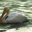 White migratory pelican bird - Stock Photo