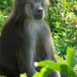 Baboon monkey animal — Stockfoto