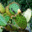 Edible opuntia Cactus Plants — Stock Photo