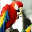 Golden Red Macaw Bird isolated - Stock Photo