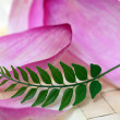 Pink Lotus Petals and Green Curry Leaf - Stock Photo