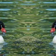 Stock Photo: White Black neck cygnus Swan bird couple
