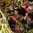 Young baby sparrow bird in nest — Stock Photo