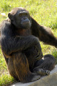 Black gorilla animal — Photo