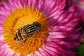 Honeybee on Pink daisy flower — Stock Photo