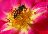 Honeybee on pink rose flower — Stock Photo