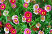 Pink Pendula Ilex Flower — Stock Photo