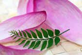 Pink Lotus Petals and Green Curry Leaf — Stock Photo