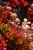Red white Aloe Succulent flowers — Stock Photo