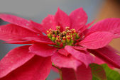 Red Poinsettia Flowers on Christmas — Stock Photo