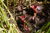 Young baby sparrow bird in nest — Foto Stock