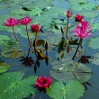 Stock Photo: Pink Water Lily Flower in pond