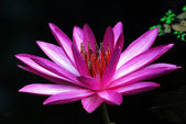 Pink Water Lily Flower — Stock Photo